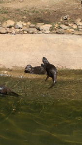 Otters at Atlanta Zoo