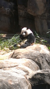 Panda Bear at the Atlanta Zoo